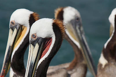 Photograph - Proudly Pelican by Leda Robertson