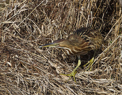 Coming Out Photograph - Prowling Bittern by Angie Vogel