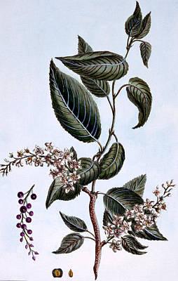 Chine Painting - Prunus Padus Or Bird Cherry by Pierre Joseph Buchoz