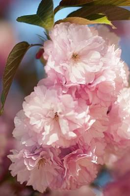 Cultivar Photograph - Prunus Serrulata 'kanzan' by Maria Mosolova