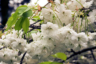 Cultivar Photograph - Prunus 'shogetsu' Flowers by Adrian Thomas
