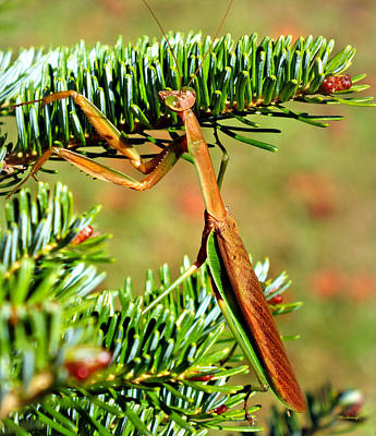 Photograph - Prying Mantis On The Pine Tree by Duane McCullough