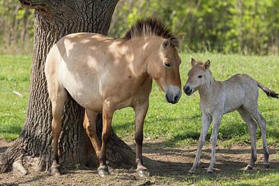Przewalskis Horse Or Takhi (equus Ferus Art Print