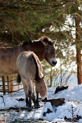 Przewalski's Horse Or Takhi (equus Print by Martin Zwick