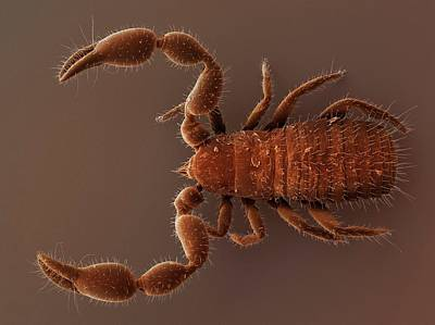 Pseudoscorpion (sem) Art Print by Power And Syred