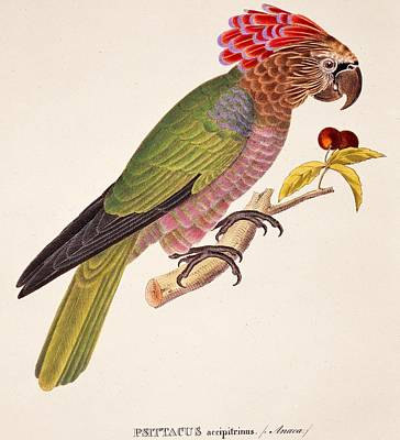 South American Painting - Psittacus Accipitrinus by German School