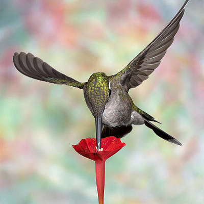 Photograph - Psychodelic Hummingbird 2 by Gregory Scott