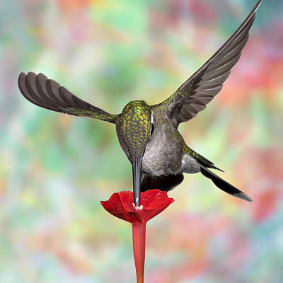 Photograph - Psychodelic Hummingbird 3 by Gregory Scott