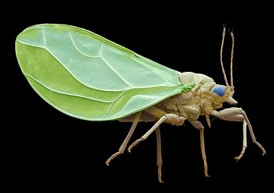 Sap Photograph - Psyllid by Steve Gschmeissner