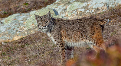 Photograph - Pt Reyes Cat by Kevin  Dietrich