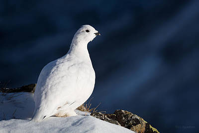 Photograph - Ptarmigan In Winter by Tim Newton