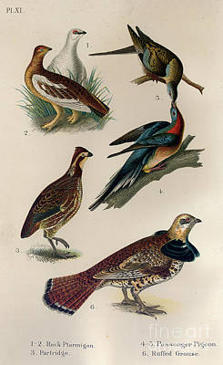 Drawing - Ptartmigan Partridge Pigeon And Grouse by Celestial Images
