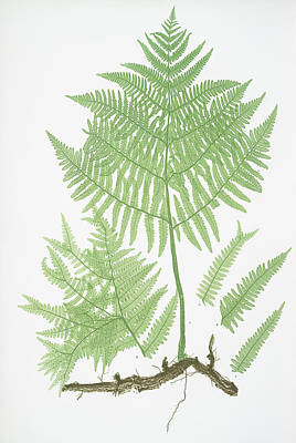 Vegetation Drawing - Pteris Aquilina. The Common Brakes, Or Bracken by Litz Collection
