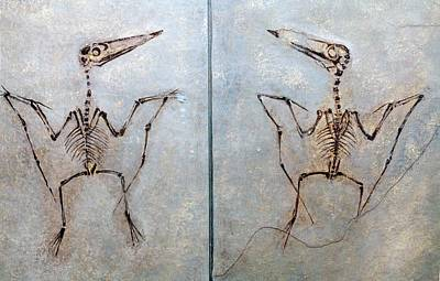 Pterodactylus Antiquus Art Print by Dirk Wiersma