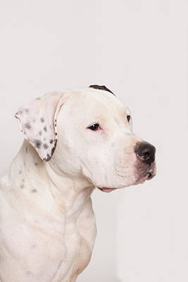 Staffy Photograph - Puck The Regal by Beth Wickham
