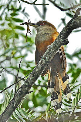Photograph - Puerto Rican Lizard-cuckoo Endemic by Alan Lenk