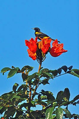Photograph - Puerto Rican Oriole Endemic by Alan Lenk