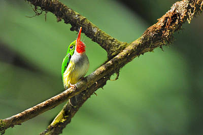 Photograph - Puerto Rican Tody Endemic by Alan Lenk