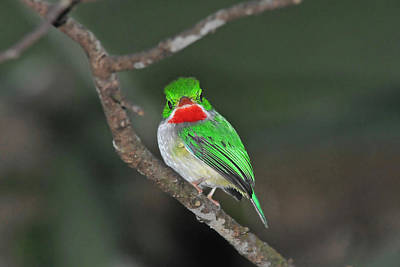 Photograph - Puerto Rican Tody - Here's Looking At You by Alan Lenk