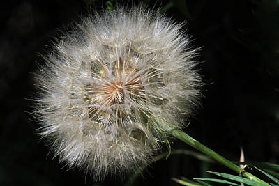 Salsify Wall Art - Photograph - Puff And Your Gone by Donna Kennedy