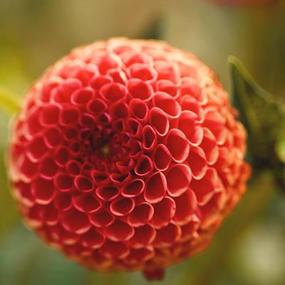 Plant Photograph - Puff Ball by Samantha Eisenhauer