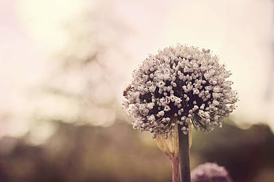 Purple Flowers Photograph - Puff by Heather Applegate