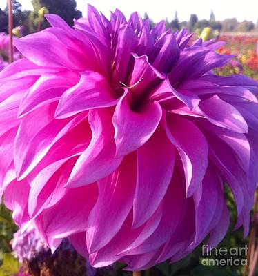 Puff Of Pink Dahlia Art Print by Susan Garren