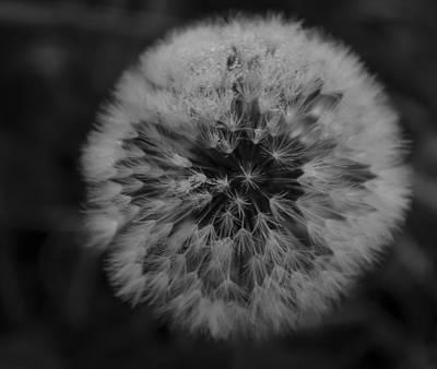 Photograph - Puff Dandy by Rae Ann  M Garrett