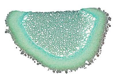 Puffball Mushroom Art Print