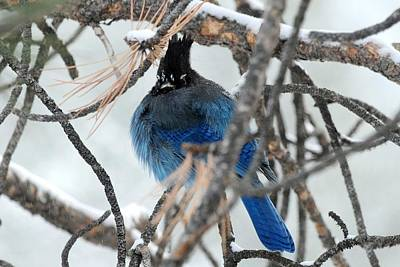 Photograph - Puffed Up Steller's Jay by Marilyn Burton