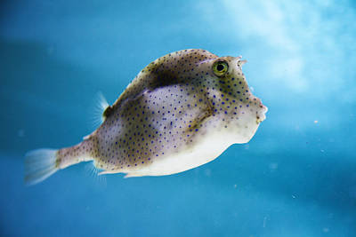 Photograph - Pufferfish by Crystal Cox