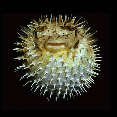 Porcupine Fish Photograph - Pufferfish by Scott Frier