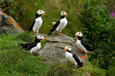 Photograph - Puffin Circle Of Friends by Shari Sommerfeld