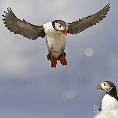 Puffin Coming Home Art Print