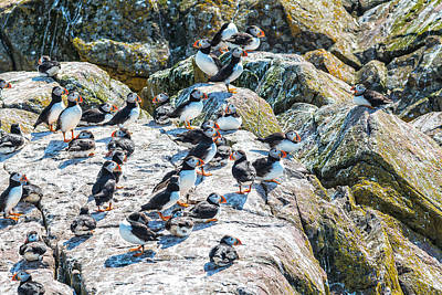 Photograph - Puffin Convention by Perla Copernik