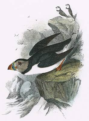 Puffin Print by English School