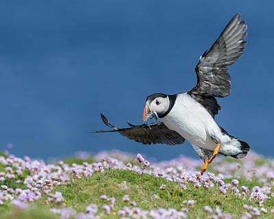Puffins In Shetland Photograph - Puffin Flying Home by Jennifer LaBouff