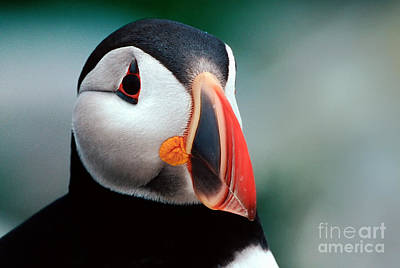 Art Print featuring the photograph Puffin Head Shot by Jerry Fornarotto