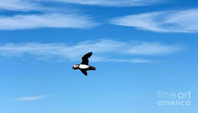 Photograph - Puffin In Flight by David Grant