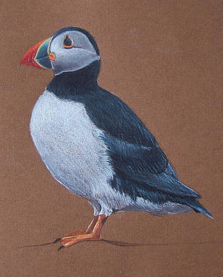 Puffin Drawing - Puffin by Liam Harper