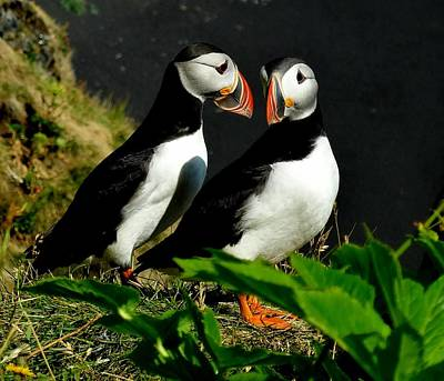 Photograph - Puffin Love by Sarah Pemberton