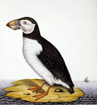 Puffin Painting - Puffin, Marmon Fratercula, Circa 1840 by French School