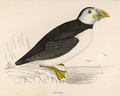 Puffin Drawing - Puffin by Mary Evans Picture Library