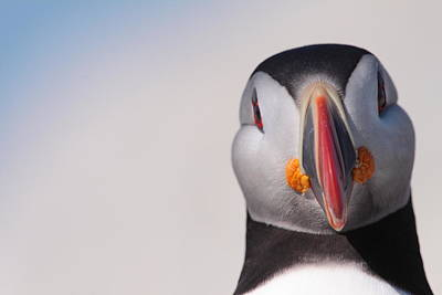 Puffin Mug Shot Art Print by Bruce J Robinson