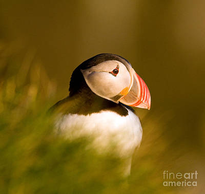 Puffin Portrait Art Print by Wayne Bennett