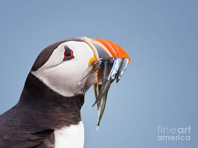Puffin Photograph - Puffin With Sandeels Portrait by Liz Leyden