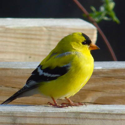 Photograph - Puffy Goldfinch by Jean Wright