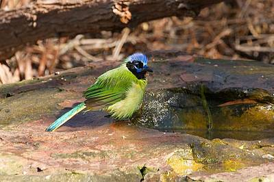 Photograph - Puffy Green Jay by Stuart Litoff