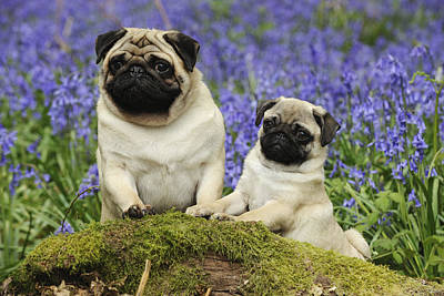 Pug And Puppy Art Print by John Daniels