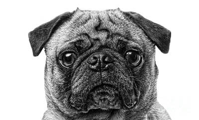 Pug Photograph - Pug Dog Black And White by Edward Fielding
